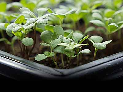 Green plants budding in a pot