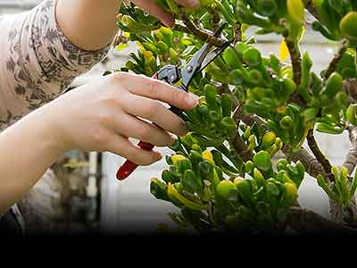 Student pruning a plant